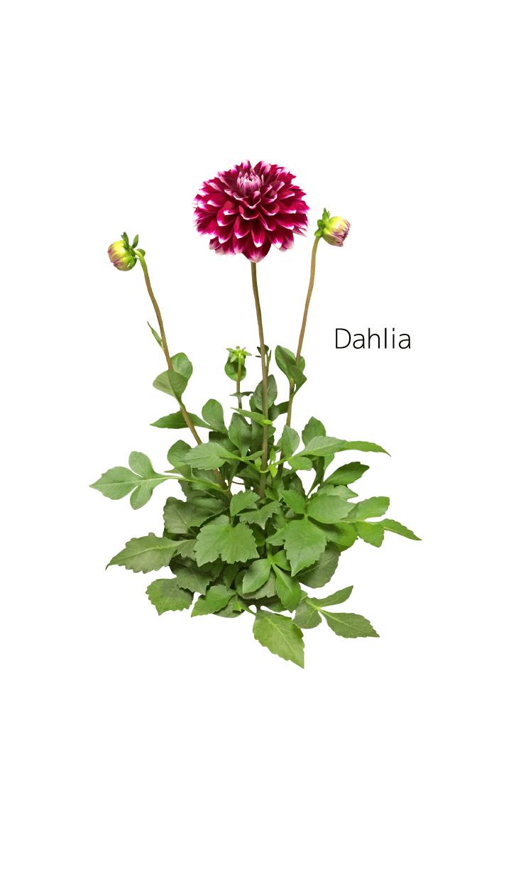 ธีมไลน์ A lot of dahlia