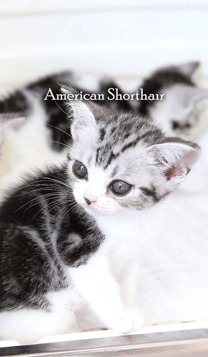 ธีมไลน์ Cute dogcat American Shorthair