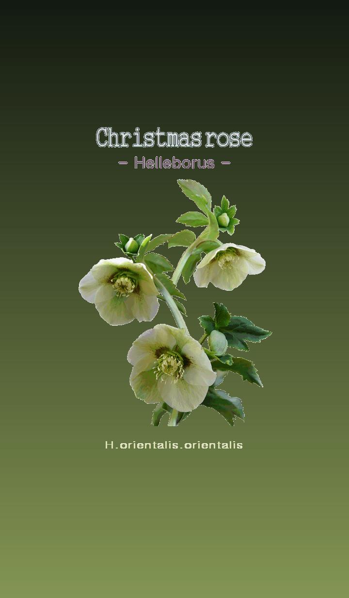 Christmas rose [Helleborus] H.orientalis
