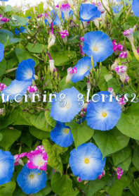 morning glories2