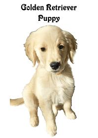 ゴールデンレトリバー子犬の写真